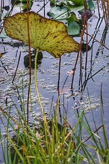 Lotus pond in Autumn (JPShen) Tags: leaf lotus pond autumn reflection grass