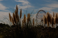 Pampas grass (t.kunikuni) Tags: jp       japan ibarakiken ibaraki hitachinaka hitachinakashi hitachiseasidepark  ferriswheel  pampasgrass