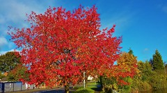 Red tree in the sunlight (Eddie Crutchley) Tags: europe england cheshire outdoor nature sunlight trees blueskies beauty autumn greatphotographers