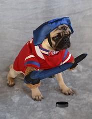 Boo The Hockey Player Pug (DaPuglet) Tags: pug pugs dog dogs puppy puppies animal animals montreal canadiens montrealcanadiens habs hockey jersey costume halloween pet pets sports team fan ice puck stick
