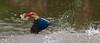 Stock bill got the fish (angchengsan9) Tags: topf75 group best 100 comment today´s storkbilledkingfisher todaysbest flickrdiamond diamondclassphotgrapher distinguishedbirds worldclassnaturephotos top25naturesbeauty