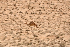 """Off For My Morning Stroll"" (The Spirit of the World) Tags: nature sand desert dunes camel oman sanddunes desertlandscape wahibasands desertvegetation wildlfe desertscene rememberthatmomentlevel1 rememberthatmomentlevel2 rememberthatmomentlevel3 creatureofthedesert"