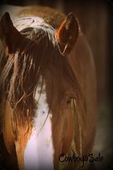 rolex eye (tanyerhide) Tags: appaloosa paint aces stud stallion chasen apha wwwcowboy4salecom wwwtomtracom