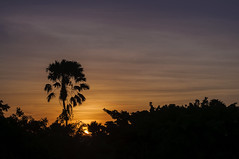 CARNAUBA SUNSET 1 / POR DO SOL CARNAÚBA 1 [Explored] (Arthur Perruci) Tags: arthurperruci nikond5000 nikon d5000 fortaleza ceara nordeste brasil coth supershot ngc naturesfinest sunset silhouette 55200mm f456 afsdxvrnikkor55200mmf456gifed nanaturezainnature sky tree