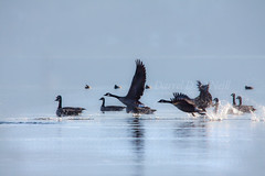 Follow the Leader 10 (LongInt57) Tags: blue brown white canada black nature water birds swimming reflections reflecting flying geese wings bc okanagan wildlife lakes floating goose takeoff splashing