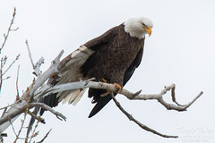 STRETCH! A Bald Eagle stretches its wing
