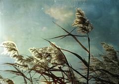 wild cartography of longing . . . (anniedaisybaby) Tags: winter poem wind grasses prairie longing timjones ghazal flypaper fromcalgary canadianpoet rosemarygriebel prairieghazal geoffreyoryema makambo texturesthanksto