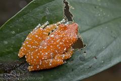 Nyctixalus pictus_MG_5976 copy (Kurt (OrionHerpAdventure.com)) Tags: amphibian frog amphibians herp herps herpetology amphibia herping tropicalfrogs nyctixalus nyctixaluspictus cinnamonfrog thelodermapictum
