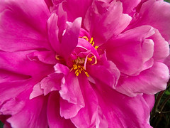 magenta haze (Isaiah62:1) Tags: flowers flower june naturallight olympus peony flickrnature flickruniverse floraaroundtheworld smallhappinesses tg620 ifyouthinkitsartpostit 50plusphotos