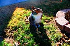 Sylvester in the Sun II (crimson sage) Tags: cats animals garden sylvester suburban lasvegas nevada suburbia