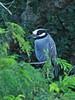 Yellow-crowned Night-Heron 2-20150110 (Kenneth Cole Schneider) Tags: florida miramar westbrowardwca