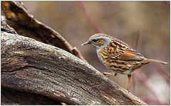 Passera scopaiola (Fausto Deseri) Tags: wild nature birds wildlife dunnock prunellamodularis sigma400mmf56apotelemacro passerascopaiola oasiditivolimanzolino pentaxk3 sitodimanzolino