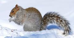 Panasonic FZ1000, Squirrel, Botanical Gardens, Montral, 15 February 2015 (20) (proacguy1) Tags: squirrel montral botanicalgardens panasonicfz1000 15february2015