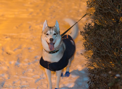 Kasper-27 (Jhan Cinnamon) Tags: newyorkcity snow nikon husky mm siberian 55 blizzard 2015