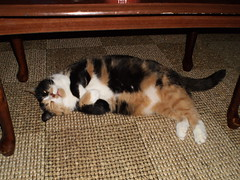 Autumn (universalcatfanatic) Tags: wood autumn orange cats brown white black eye coffee up cat square table living wooden back eyes pattern glow squares room tortoiseshell belly mat calico glowing tortie underneath lay laying weaved