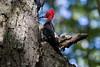Male Magellanic Woodpecker at Tierra del Fuego NP IMG_9933 (grebberg) Tags: male bird argentina tierradelfuego nationalpark woodpecker january fugl 2015 campephilus tierradelfuegonationalpark campephilusmagellanicus magellanicwoodpecker