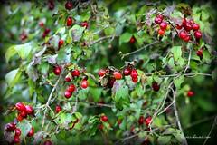 Picardie (Orayan) Tags: red france nature fruit automne trek campagne picardie randonnée sauvage baies fruitsrouges leboisdemolle laneuvilledaumont