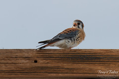 Male American Kestrel enjoys a mouse lunch