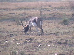 Black Buck Antelope