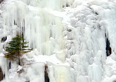 Steadfast (Karen_Chappell) Tags: winter snow cold tree ice nature newfoundland evergreen strong icy nfld flatrock steadfast