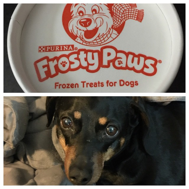 Molly is the #valentine girl 😂😂😂she got an ice cream treat!! #dachshund #dog #dogs #dogsofinstagram