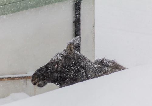 Moose at the doorstep