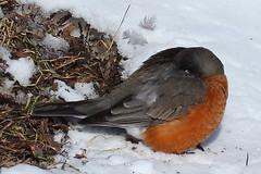 IMG_4498-1 American Robin (John Pohl2011) Tags: bird canon john 100400mm pohl perching t4i 100400mmlens canont4i
