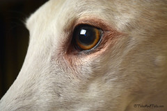 The Eyes Say It All (houndstooth4) Tags: dog greyhound bunny ddc odc dogchal day52 day52365 365the2015edition 3652015 21feb15