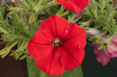 Red Petunia 2 (Largeguy1) Tags: red flower macro canon mark ii 5d approved petunia