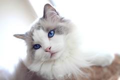 My Buddy (photosanity) Tags: cats kitties cuteness ragdolls