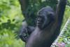 2016-07-07-0146 (BZD1) Tags: bonobo animal synapsida mammal prim haplorhini hominidae hominini pan nature koelnerzoo panpaniscus