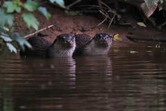 European Otter, Lutra lutra (5) (Geckoo76) Tags: otter lutralutra europeanotter