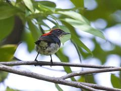 Scarlet-backed Flowerpecker (male) (christopheradler) Tags: thailand scarletbacked flowerpecker cruentatum diacaeum