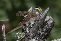 White throated Sparrow - cleaning up ! (Natimages) Tags: bird birding sparrow songbird whitethroatedsparrow da3004 pentaxk3