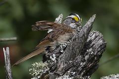 White throated Sparrow - cleaning up ! (Natimages) Tags: bird birding sparrow songbird whitethroatedsparrow da3004 pentaxk3