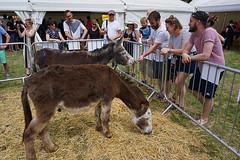 Donkeys (McTumshie) Tags: england london animal unitedkingdom donkey lambeth brockwellpark londonist lambethcountryfair 16july2016