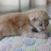 NL* Titran's Lysander male kitten cream silver tabby blotched & white 1 week old