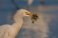 Morning snack ( Cattle egret ) (Irtiza Bukhari) Tags: morning snack egret fish colors water beauty nature blue heron white cattle irtiza bukhari irtizabukhari irti canon 400mm google image wildlife bird wildbird photography details sharp eye eyes contact happy hapiness happiness enjoying pakistan