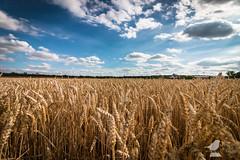 Sommer im Kornfeld (Philipp Reutter) Tags: summer sky clouds canon germany cornfield sommer himmel wolken 1018 mainz kornfeld 2016 weizenfeld 70d