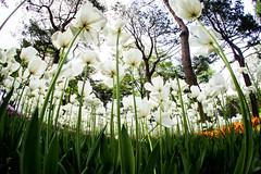 White tulips (sorapongtuangsuwan) Tags: wedding white flower floral easter season spring market background seasonal nobody romance whitebackground gift blank flirting tulip dating bunch romantic studioshot bouquet copyspace heap isolated valentinesday alotof