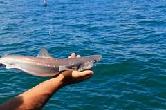 IMG_4653 (Mr.J.Martin) Tags: fishing deepseafishing missmichelle pointpleasant newjersey flounder seabass searobin charterboat sandshark