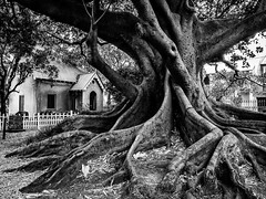 St Stephens churchyard, Newtown (Rod Burgess) Tags: nsw ststephenschurch sydney australia blackandwhite church fig buttressroots longexposure olympusomdem1 olympus1240f28pro tree treesdiestandingup