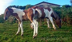 Rota de Napoleo (vmribeiro.net) Tags: caminho francs de santiago 1 etapa saintjeanpieddeport roncesvalles cavalos horses camino way frana jacques james