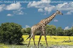 _ANT0805 (AnimaMundiMagazine) Tags: etoshanationalpark namibia southernafrica saltpan depression dolomite savanna salinedesert desertadaptation calciumdeficiency etoshapan rainyseason verdant flowers bloom