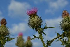Cirsium vulgare (Spear Thistle) (sianmatthews25) Tags: collingtoncommon cirsium vulgare spear thistle nottinghamshire