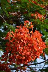 Royal Poinciana in full bloom! (jungle mama) Tags: royalpoinciana orange red tropicaltree floweringtree miami