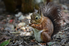 Red Squirrel (hamlet3003 .) Tags: