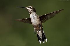 Ruby-throat Hummingbird