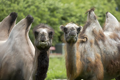 "What ? (Vidar ""the Viking"" Ringstad, Norway) Tags: summer warm holiday animal biganimal camel nature naturepic natureshot pair duo tree bokeh portrait looking cool zoo canoneos5dmkiii løveparken danmark denmark danish exotic"