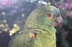 The real deal  .  .  . (ericrstoner) Tags: papagaioverdadeiro turquoisefrontedamazon amazonaaestiva parrot papagaio chapadaimperial distritofederal brazlândia psittacidae
